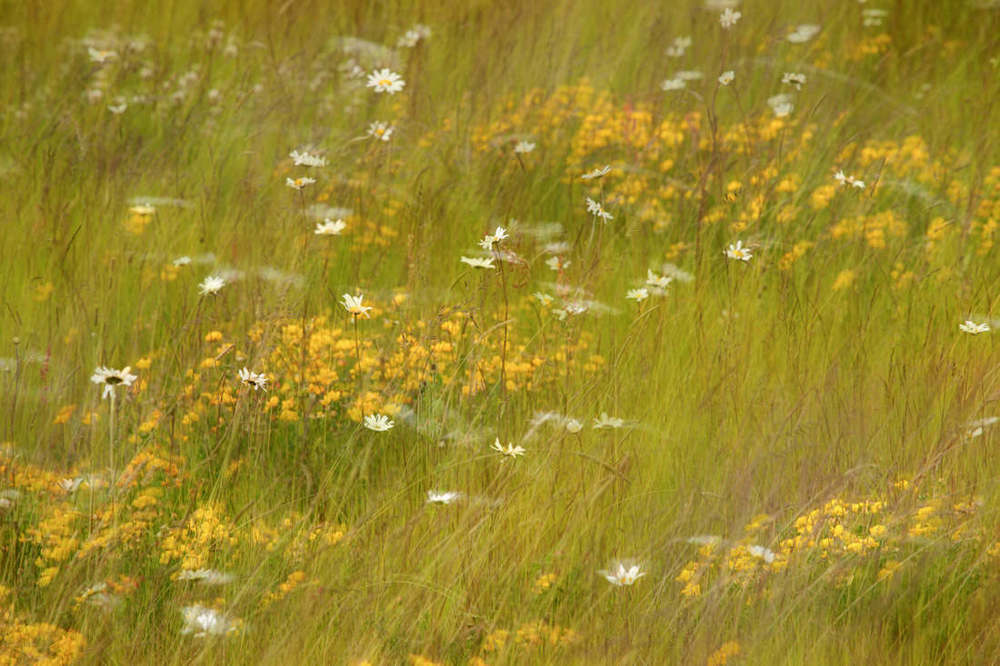 swaying wild flower meadow