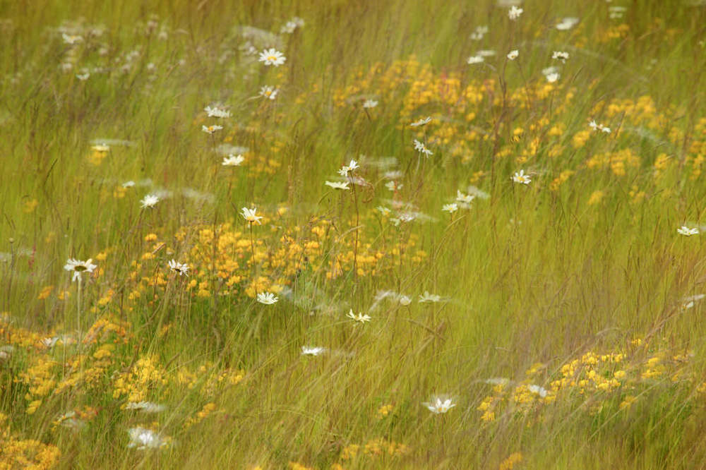 Swaying Wild Flower Meadow - Jun 2015