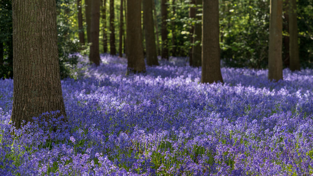 bluebell woodlands