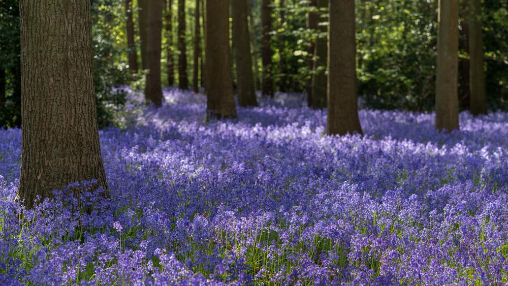 bluebell woodlands