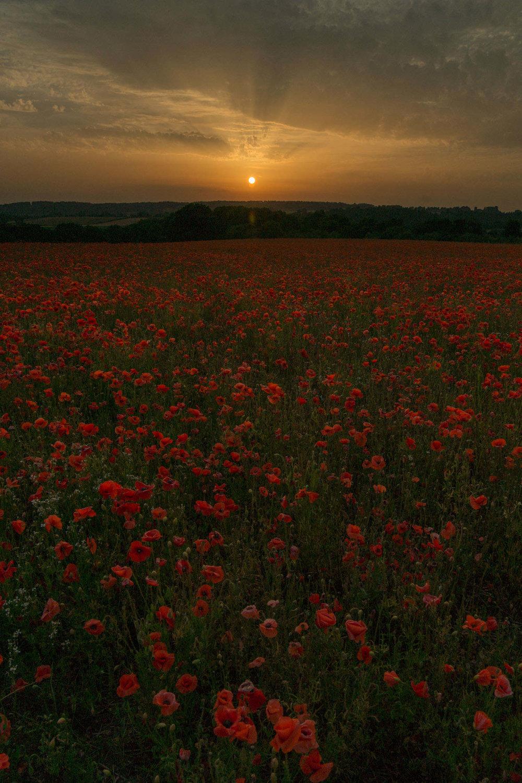 Poppy photography workshop