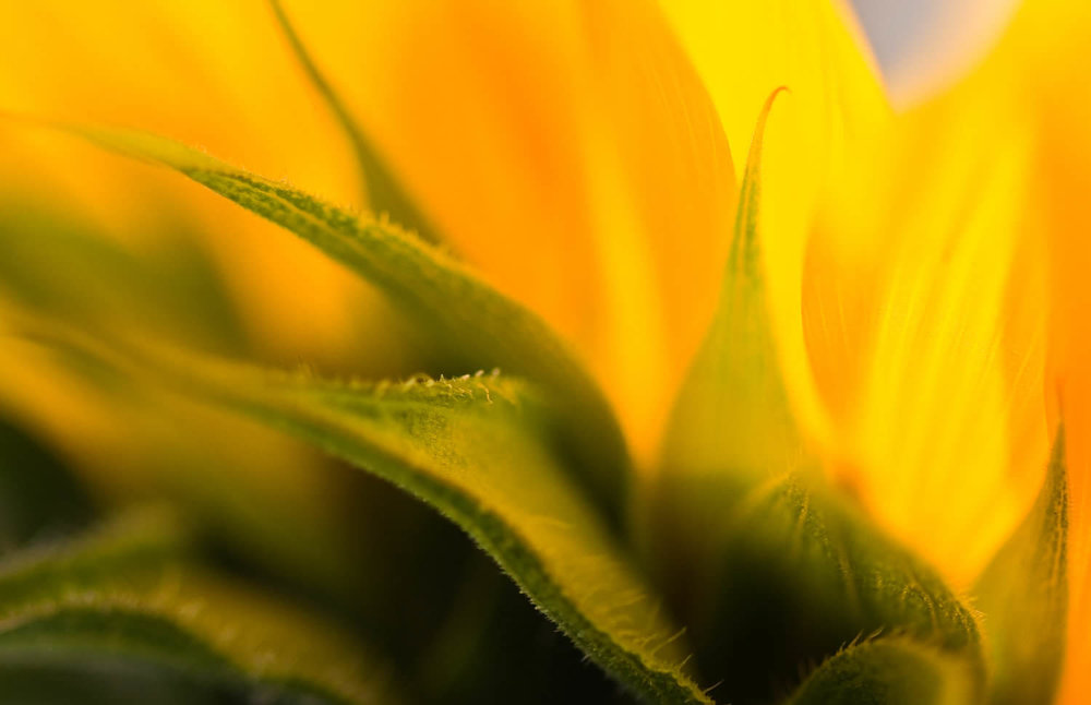 sunflower-photography-workshops.jpg