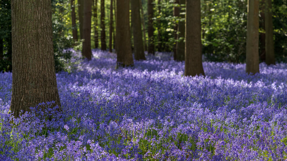 Bluebell Woodlands -