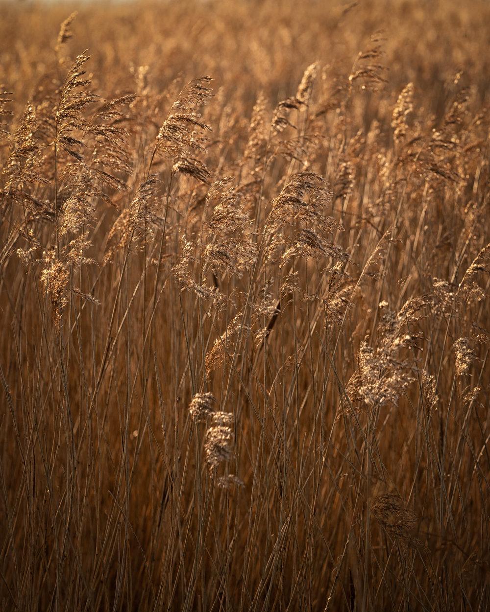 herringfleet reeds