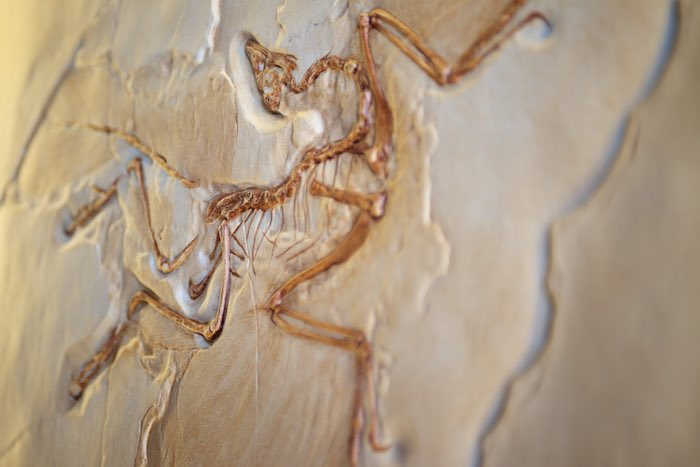 An incredibly cool Archaeopteryx lithographica