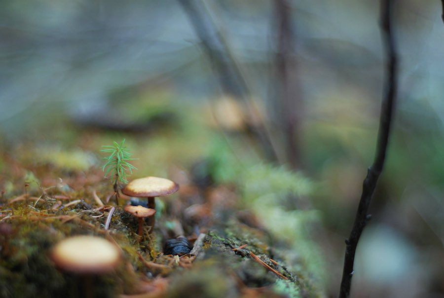 A spruce sapling among mushrooms growing out of a fallen tree..