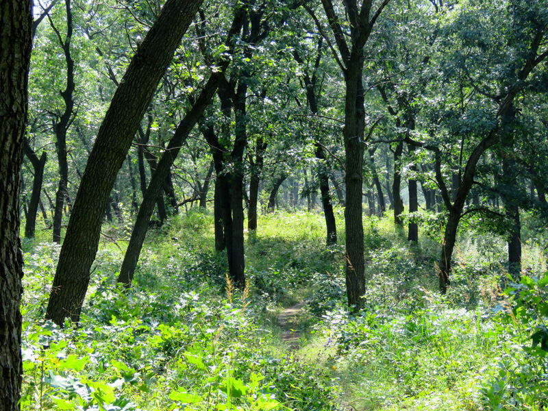 My walk today was in a black oak forest at the Indiana Dunes National Lakeshore