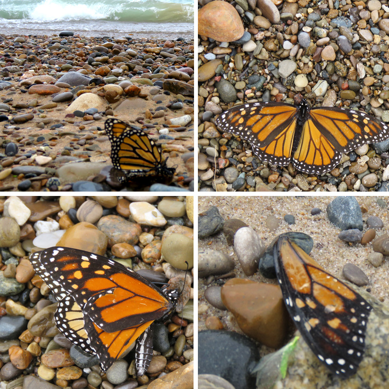 Monarchs, Paula Kovarik