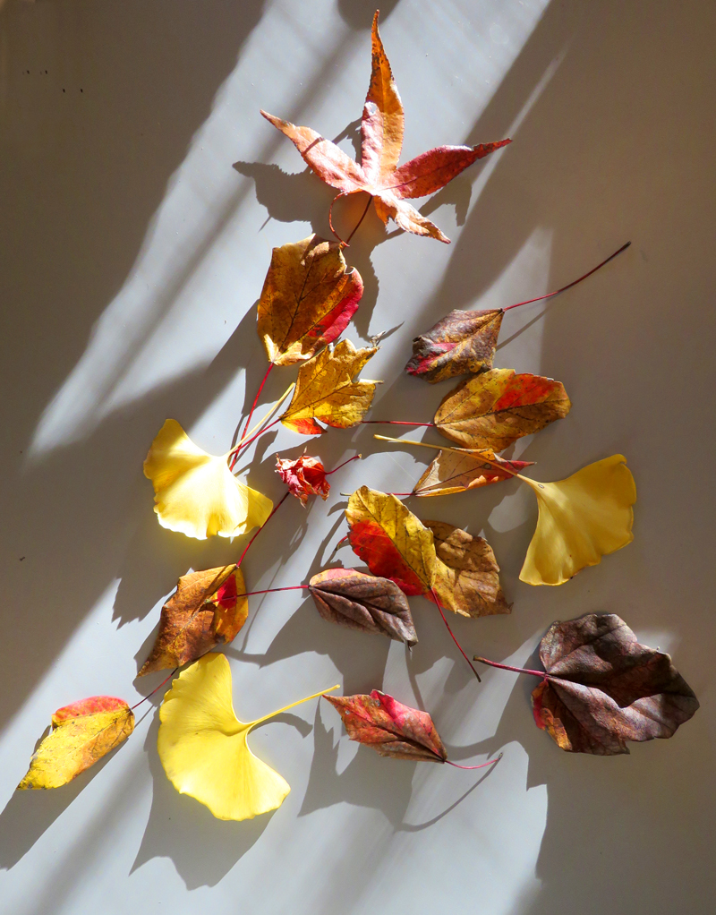 Who can resist the glow of gingko, the spark of maple and the dusky undertones in sycamore leaves?