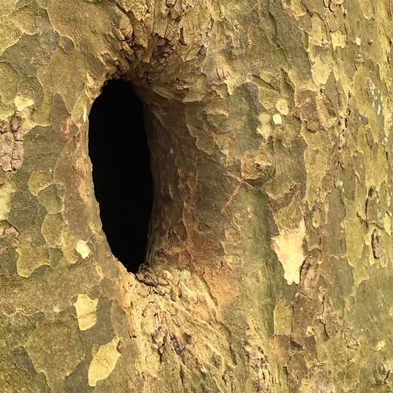 The edges of this hole in a sycamore tree beckon curious creatures. There is darkness within.