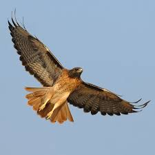 Bird Watching - For a list of Great Basin birds you might see on your visit to Great Basin National Park, click on the Red Tail Hawk.