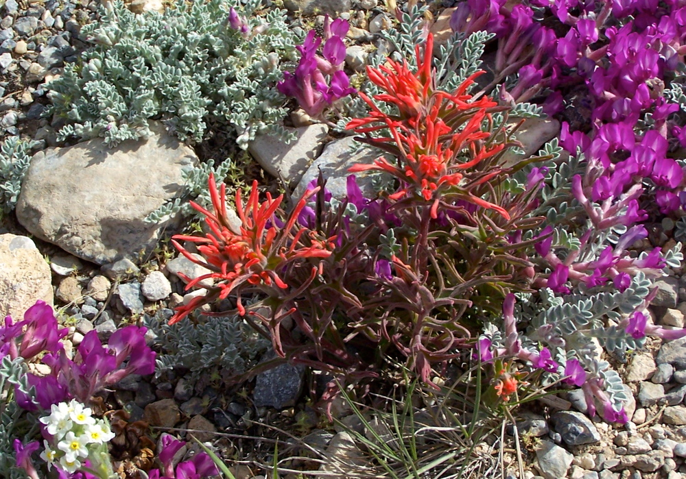 Enjoy Great Basin wildflowers! Click on the photo above for suggested hikes and drives to view Great Basin wildflowers.