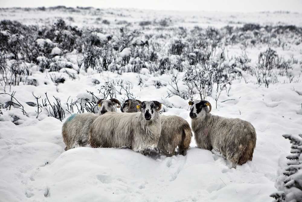 Wicklow Sheep