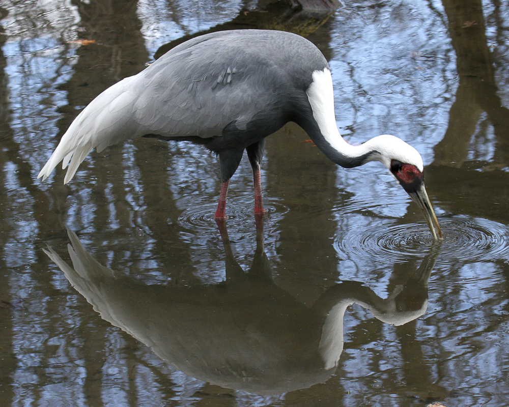 ed 271 black neck crane reflection IMG 8x10 print _3468 copy.jpg