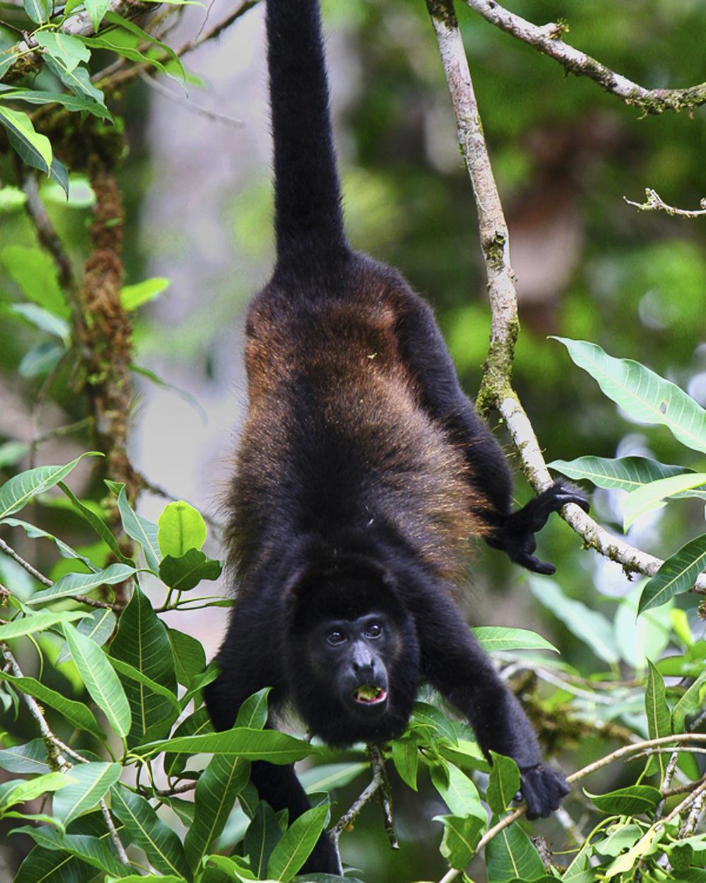 ed 269 costa Rica monkey IMG_nik v 5474 4x6 copy.jpg
