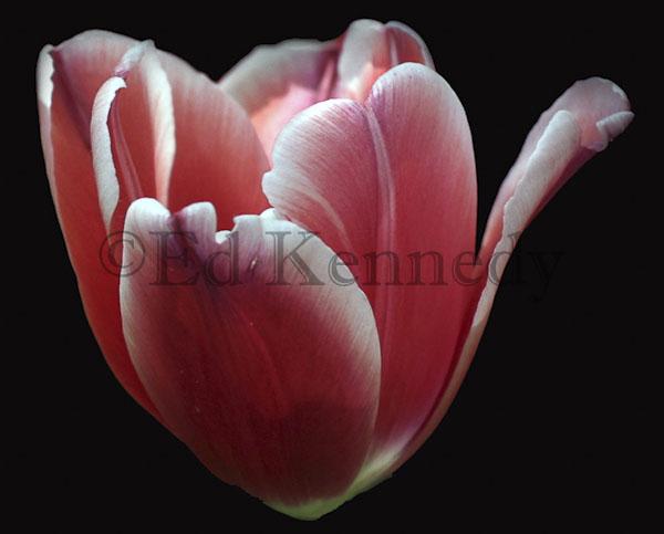 ed 041 300 Red ehite tulip 8x10.jpg