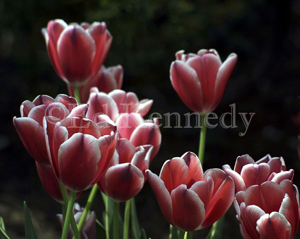 ed 022 res 300 red white tulips 8x10.jpg