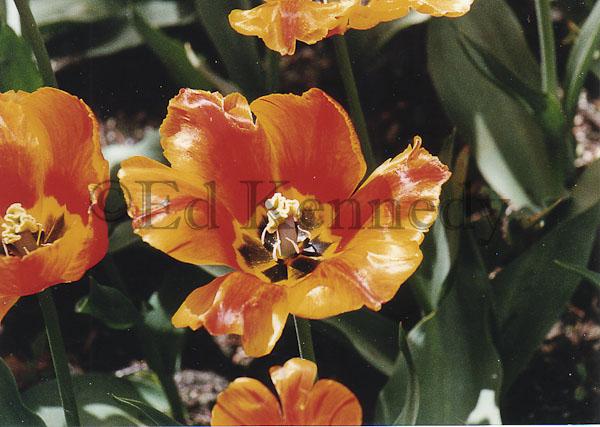 ed 028 Waxey Tulips.jpg
