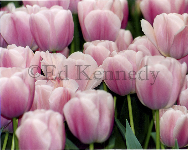 ed 040 8x10 res 300 PINK_TULIP_WATERCOLOR 8x10_.jpg