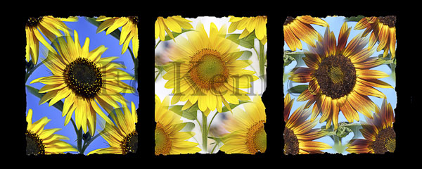 ed 254 3canvas black background sunflowers 12x30 copy 3.jpg