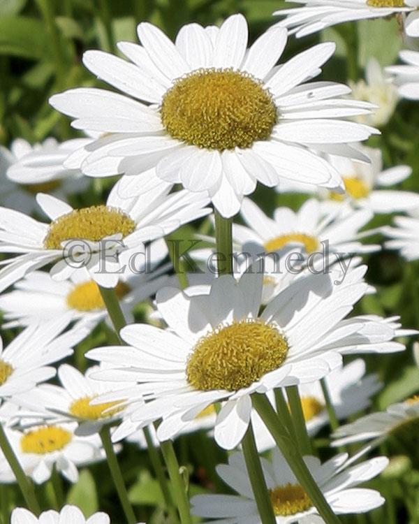 ed 191 Daisy 8x10 1035_r1.jpg