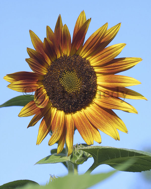 ed 123 sunflower 8x10 149_4965 copy.jpg