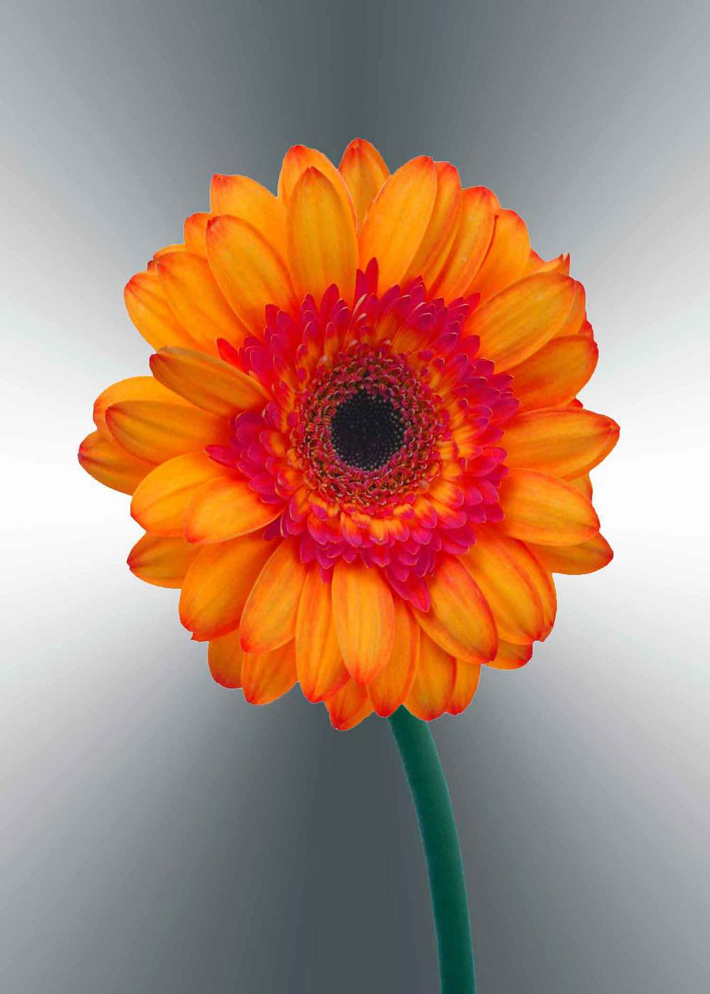 orange-gerger-daisy-5x7-(22-of-236)-Edit-2-copy-2.jpg