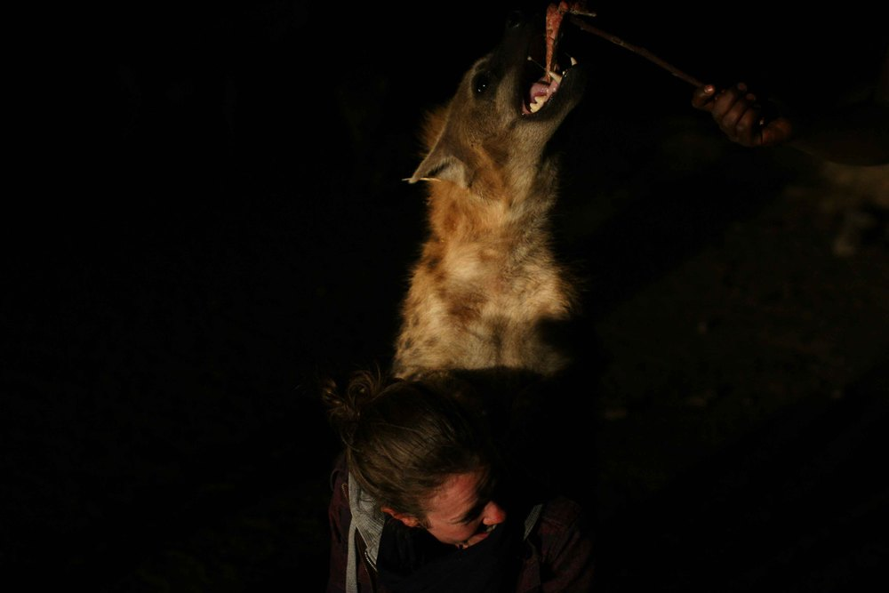 Claire demonstrates how to allow wild hyenas to climb up on you while they tear apart strips of meat. Well done.