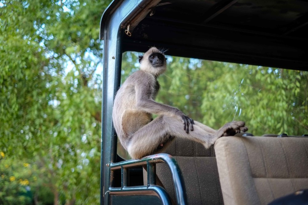This monkey in Yala National Park tried to take a backpack and also wanted a ride in our jeep.