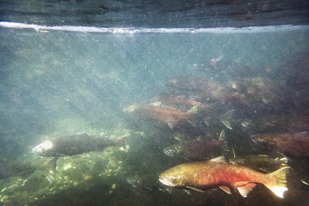 16075 GCPUD Salmon 13_8Bit_Master.jpg