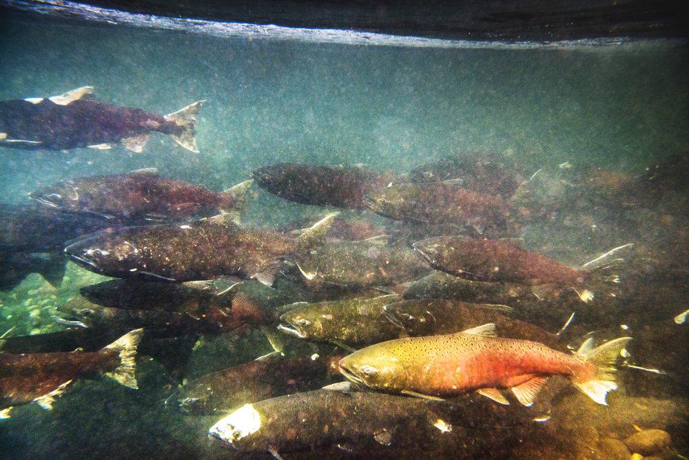 16075 GCPUD Salmon 49_8Bit_Master.jpg
