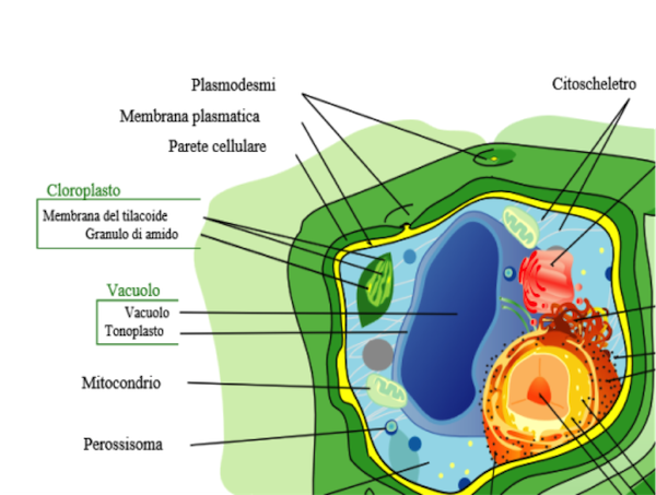 Figura 1: cellula vegetale