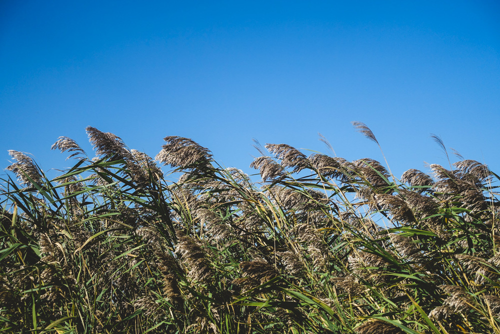 12:40pm: These grasses make me think of the Wizard of Oz