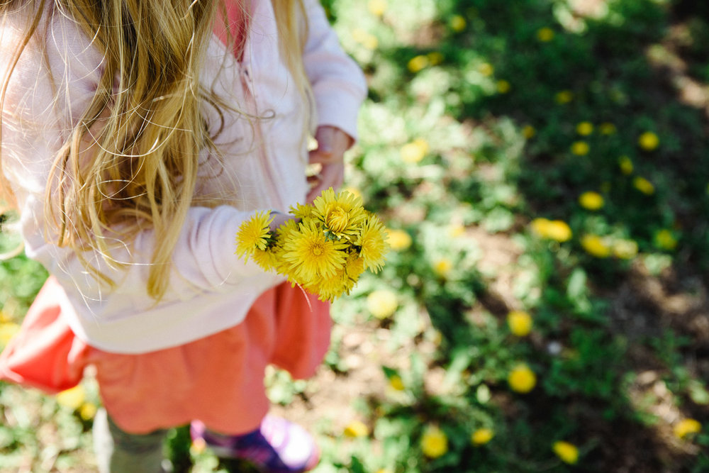 Girl picking yellow dandelions.