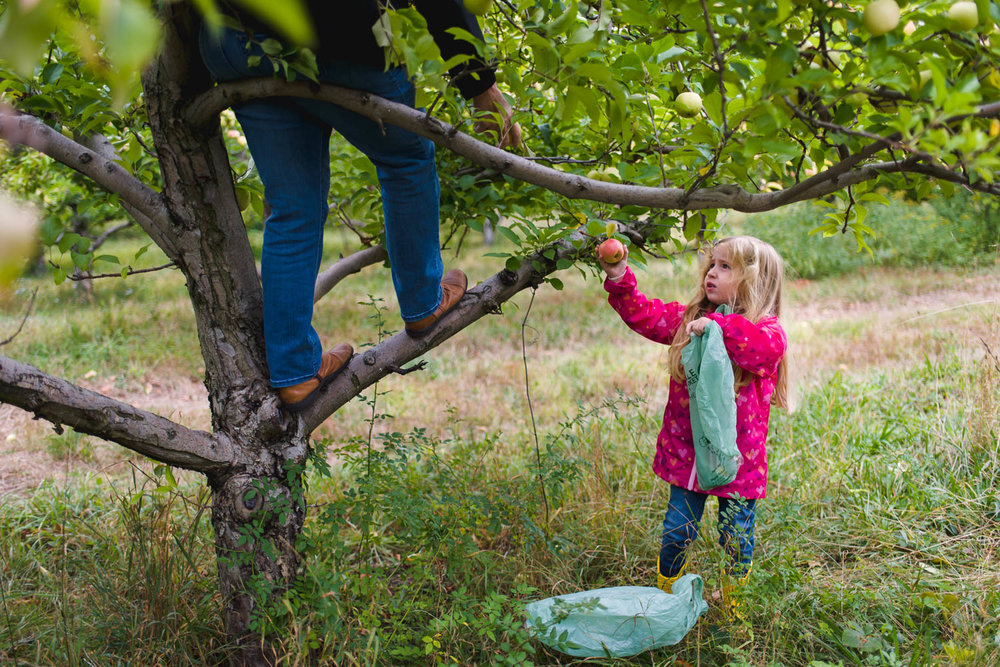Little girl picking apples with adult in tree.