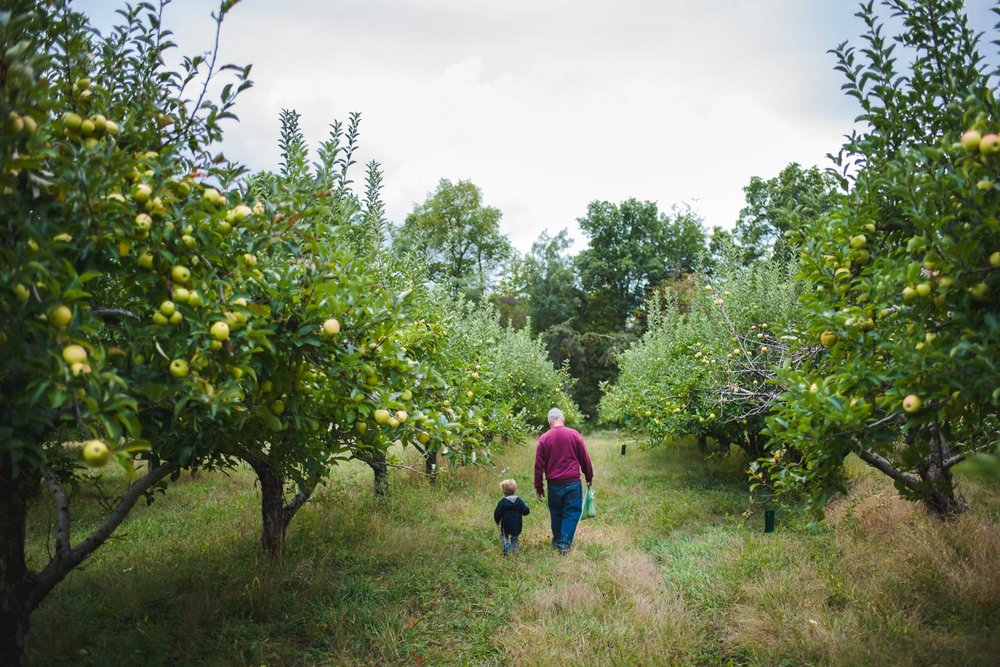 Grandson and grandfather walking between rows of apple trees at Philips Orchard, New York.