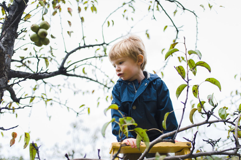 Little boy climbing ladder to apple tree.
