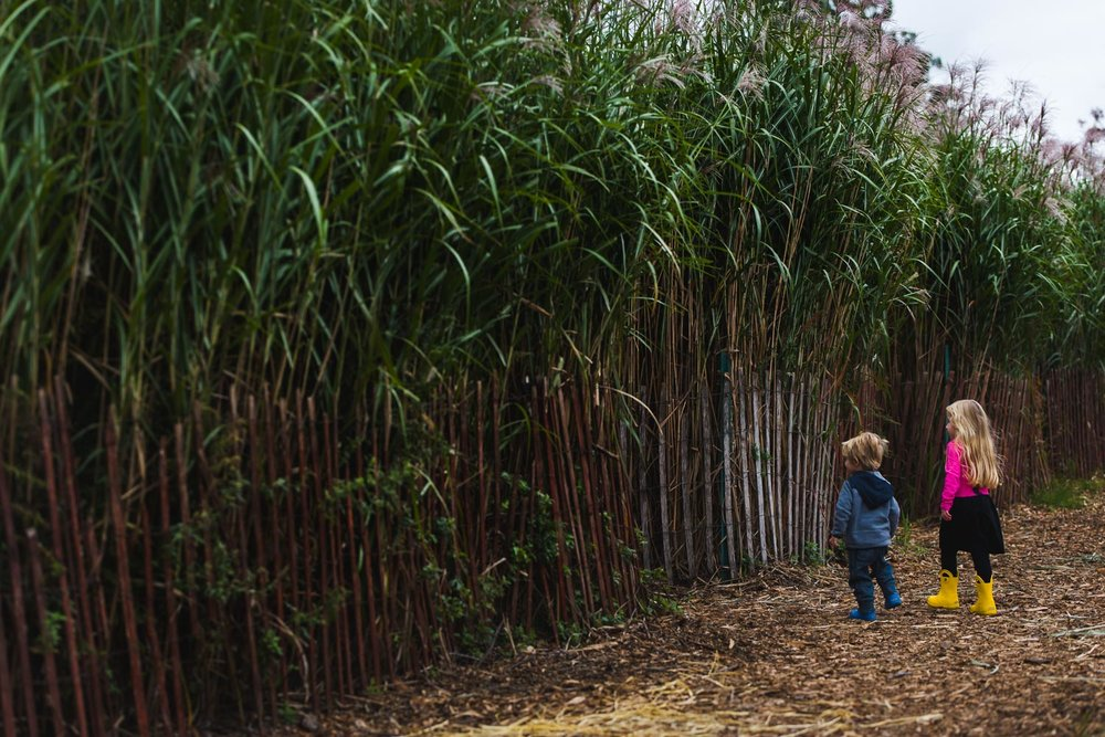 Kids walking through cornstalks.