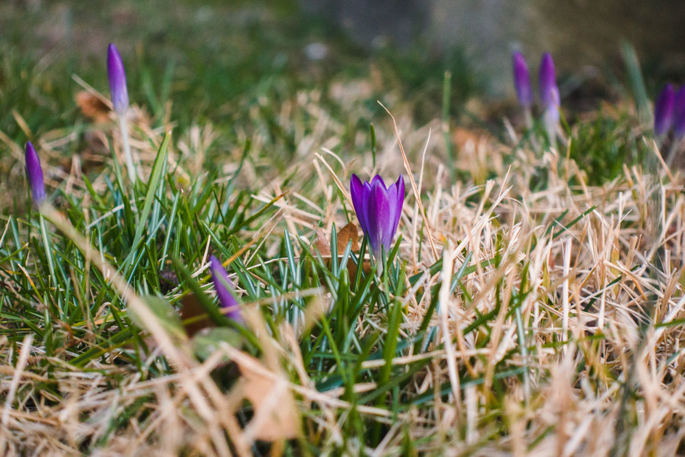 Crocuses blooming.