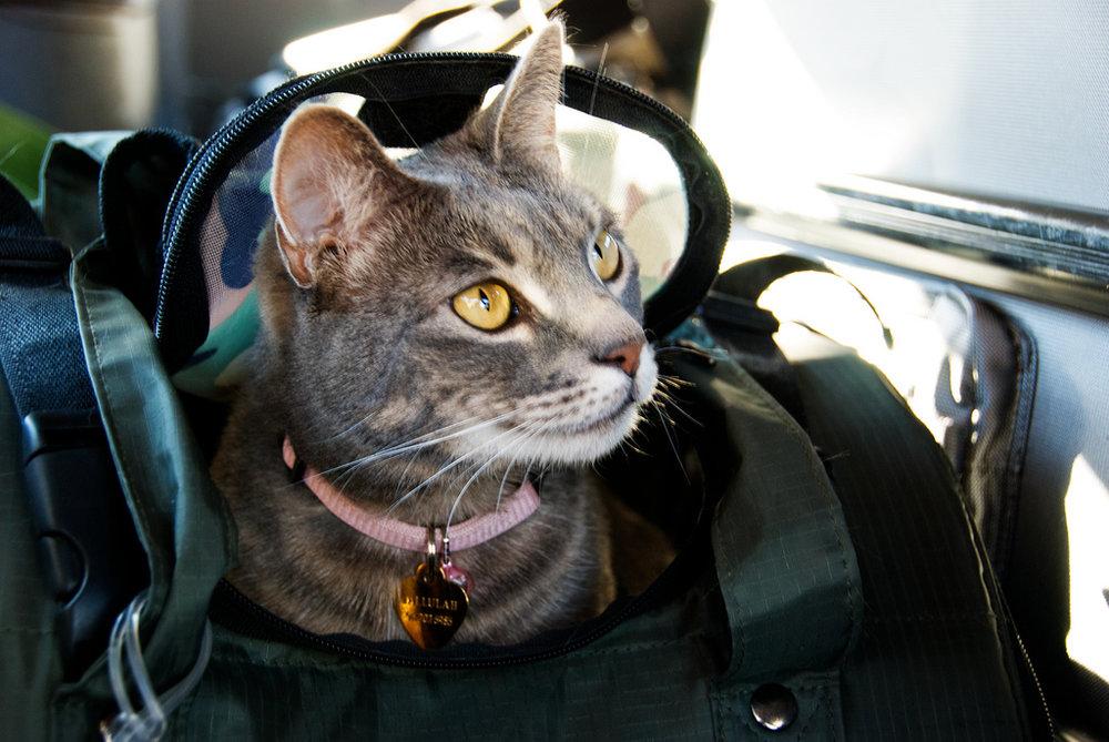 A cat in a travel bag.