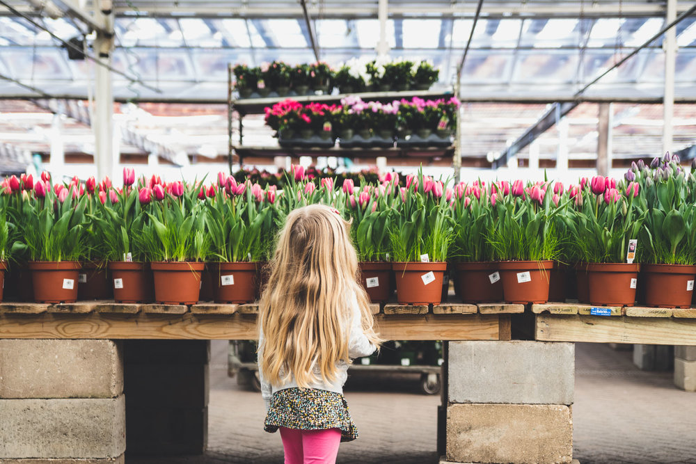 A little girl looks at the tulips at Hicks Nursery.