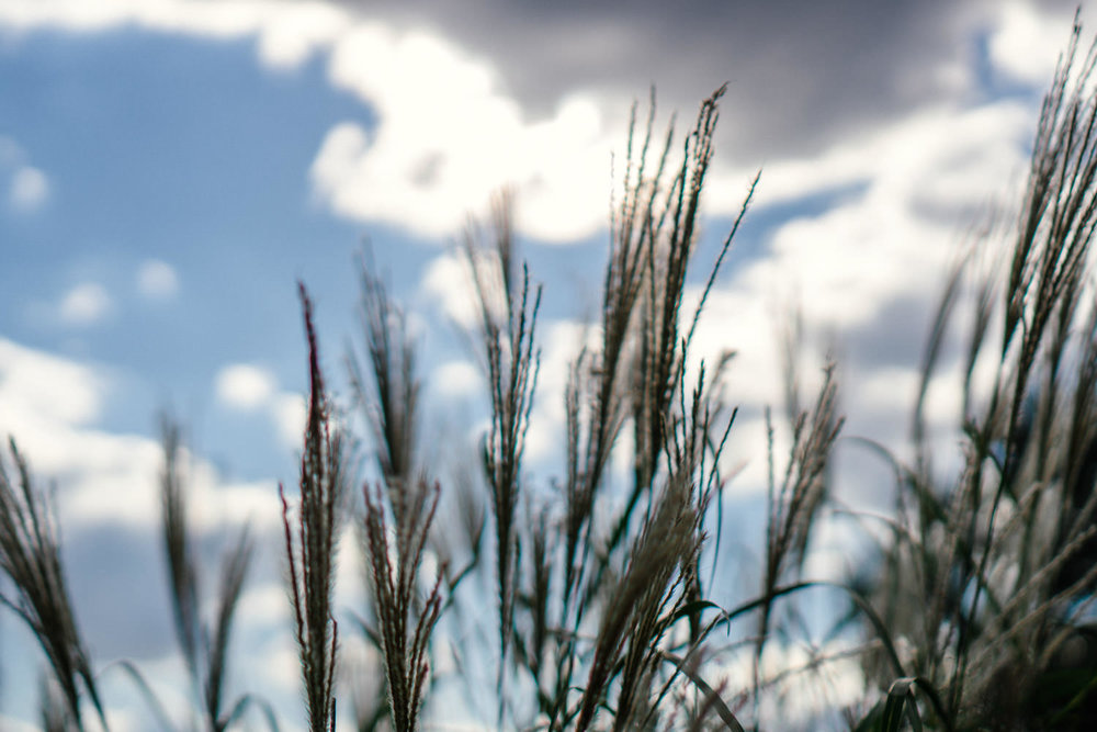 Grasses with blue skies.