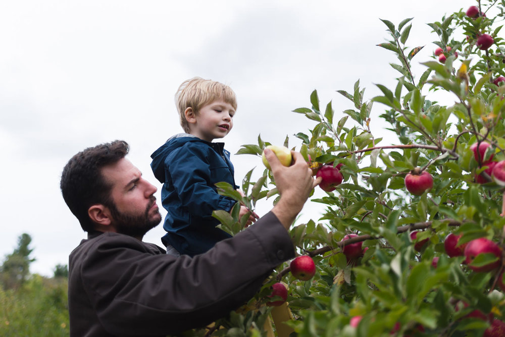 A father and his young son pick apples from a tree.
