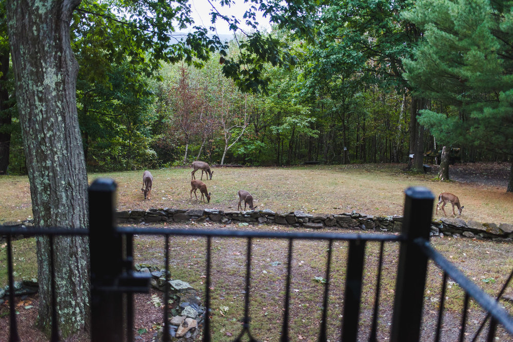 Deer graze on the back lawn of a house.