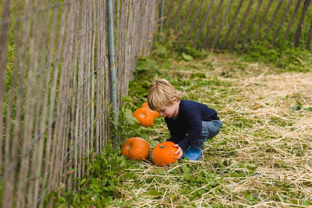 A little boy chooses a pumpkin in a field.