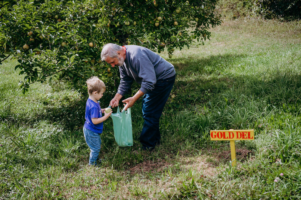A little boy and his grandfather pick apples at an orchard.