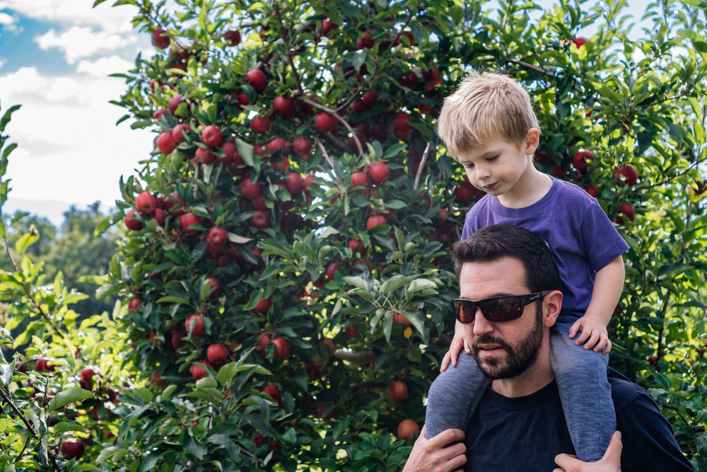 A little boy rides on his dad's shoulders at an apple orchard.
