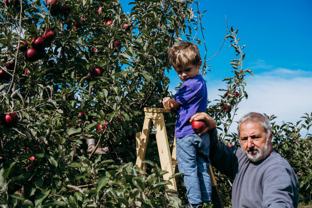 A little boy climbs a ladder with his grandfather at an orchard.