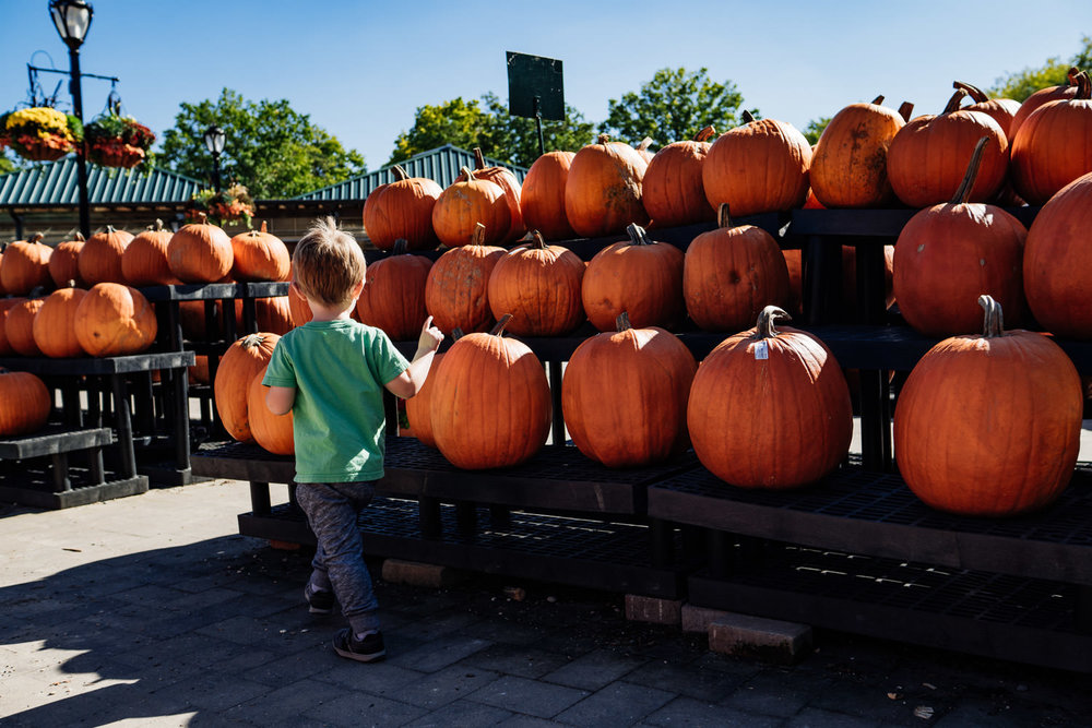A little boy looks at the pumpkins at Hicks Nursery.