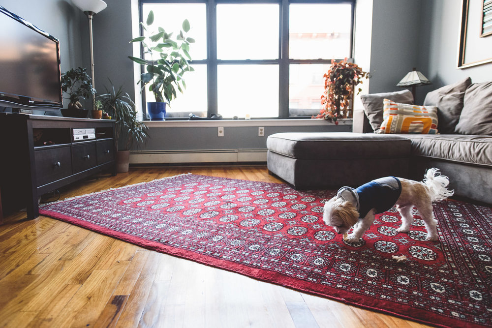 A dog sniffs around the living room rug for crumbs.